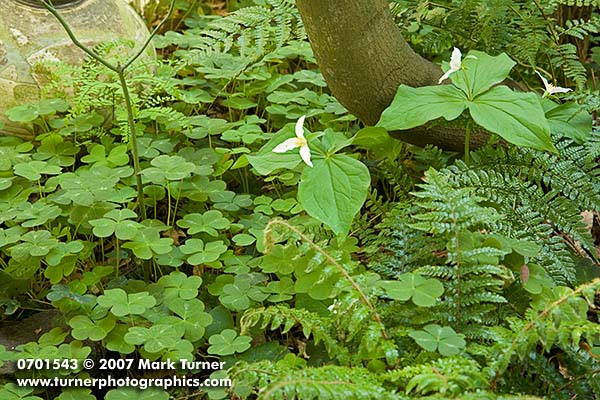 Western trillium among redwood sorrel in a garden