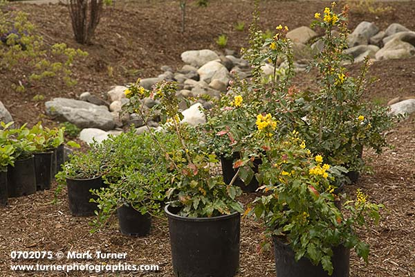 Native Shrubs Ready for Planting