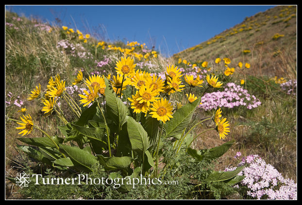Carey's Balsamroot & Showy Phlox