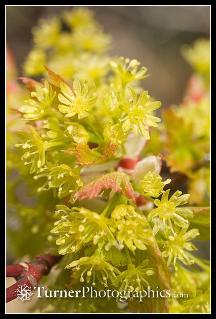 0701808 Douglas Maple blossoms & emerging foliage detail [Acer glabrum var. douglasii]. Waterworks Cyn, Oak Cr Wildlife Area, Yakima Co., WA. © Mark Turner