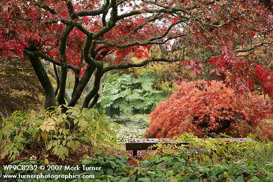 Japanese Maples on Rainy Autumn Day