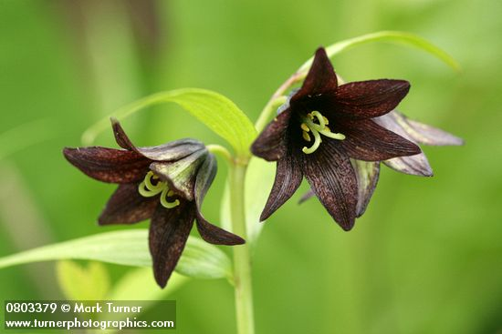 Black Lily blossoms