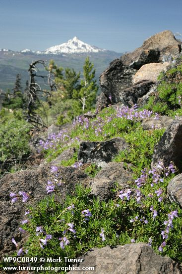 Davidson's Penstemon on Black Butte
