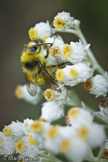 Bee on Pearly Everlasting