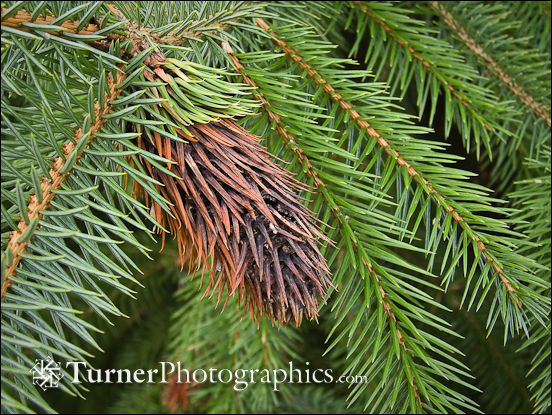 Damaged Sitka Spruce needles