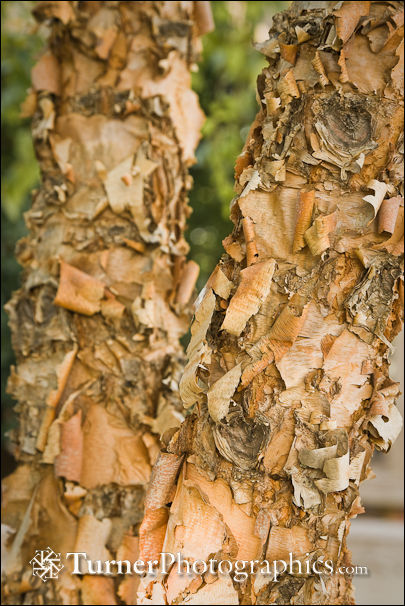 River Birch peeling bark