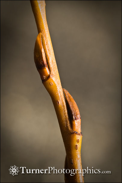 Pacific Willow buds