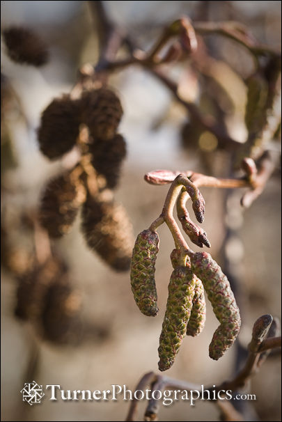 Red Alder closed catkins