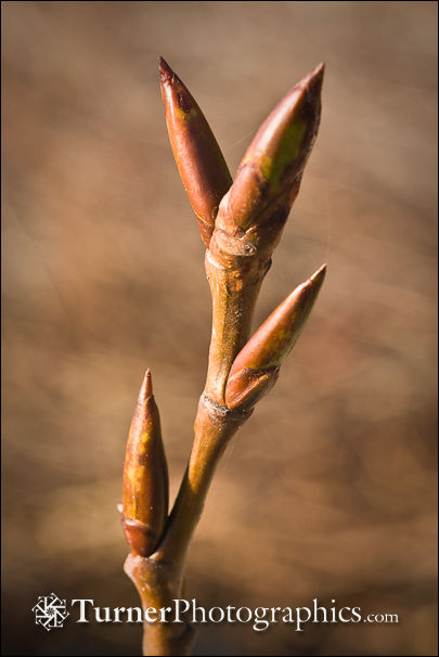 Black Cottonwood buds