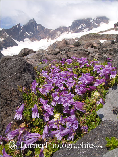 Davidson's Penstemon on glacial moraine