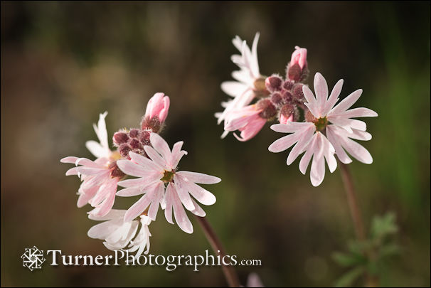 Small-flowered Prairie Star