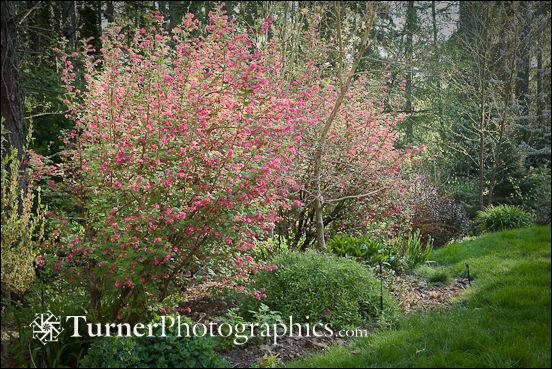 Red-flowering Currant in Garden