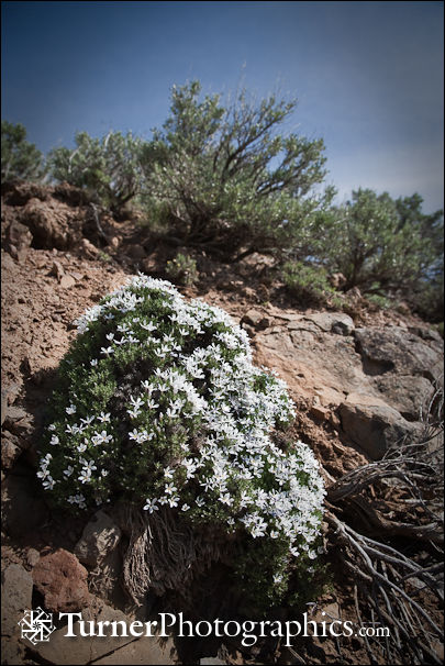 Hood's Phlox and Big Sagebrush