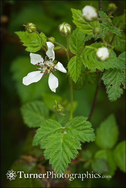 Trailing Blackberry blossom
