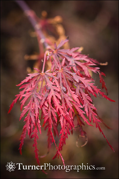 Cutleaf Japanese Maple foliage detail