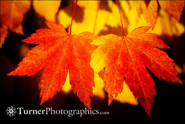 Vine Maple Foliage
