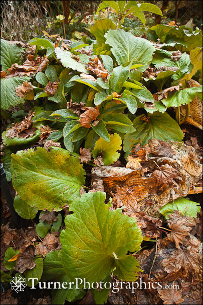 Bergenia with fallen leaves