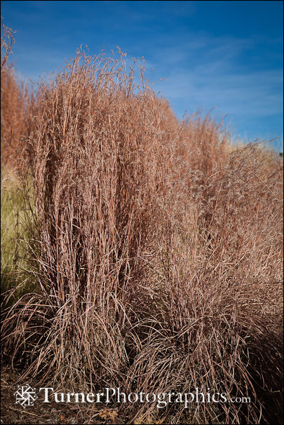 'The Blues' Little Bluestem