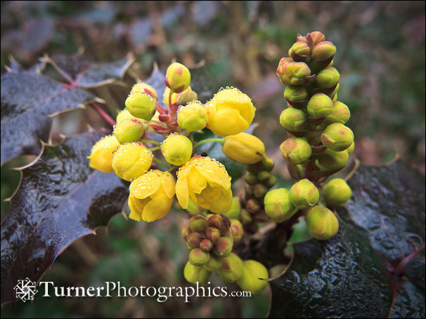 Shining Oregon-grape blossoms