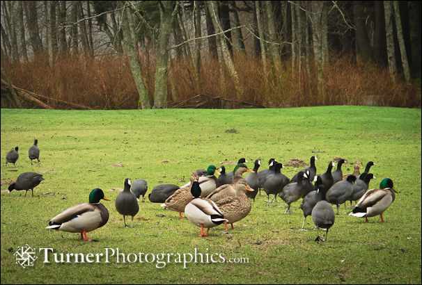 Mallards and Coots on lawn