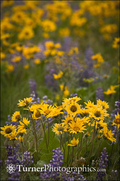 Balsamroot: 400mm lens