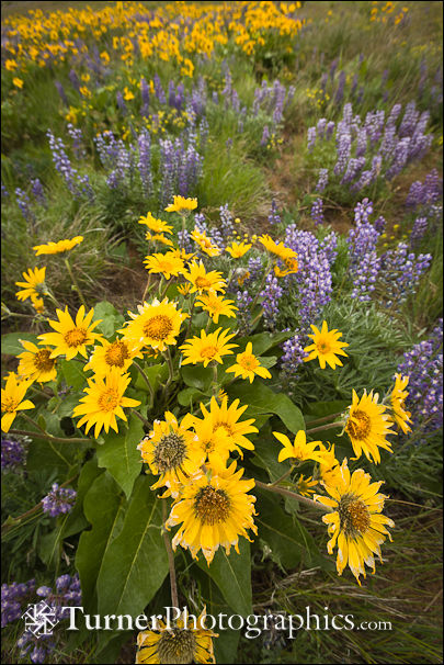 Balsamroot: 16mm lens