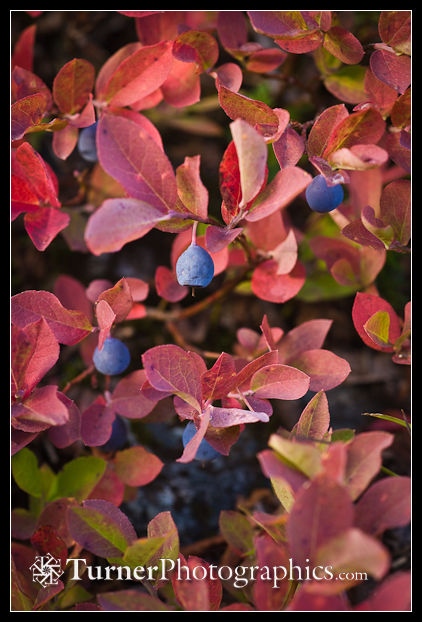 Cascades Blueberry fruit & fall foliage