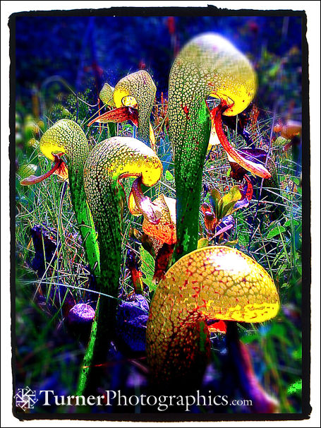 California Pitcher Plant
