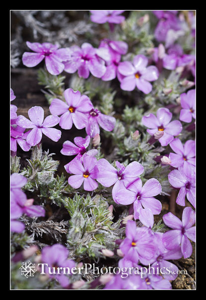 Clustered Phlox blossoms