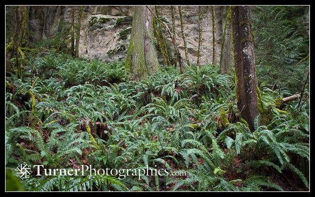 Chuckanut sandstone cliff with Sword Ferns