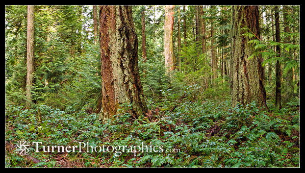 Panoramic Douglas-fir & Western Hemlock forest