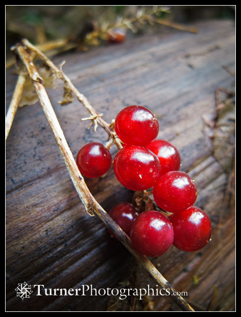 False Solomon's Seal berries