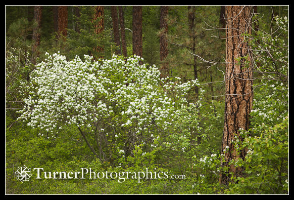 Serviceberry under Ponderosa Pines