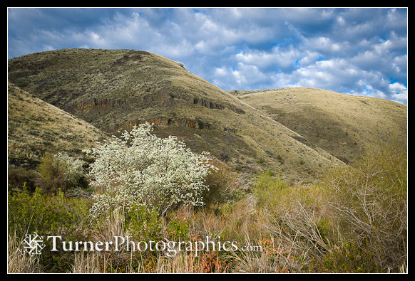 Western Serviceberry in Umtanum Canyon