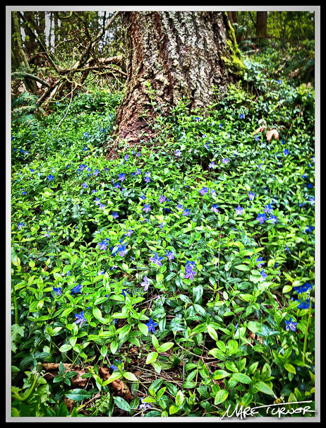 Vinca minor at base of Douglas-fir