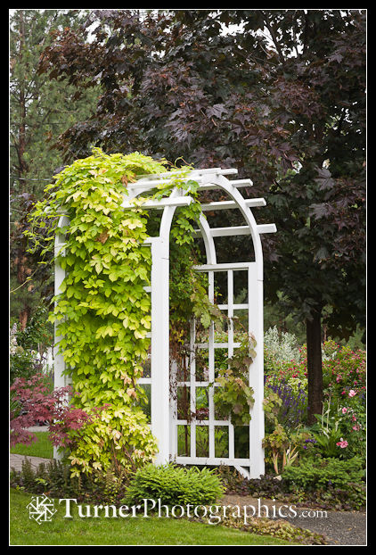 Golden Hops on white wooden arbor