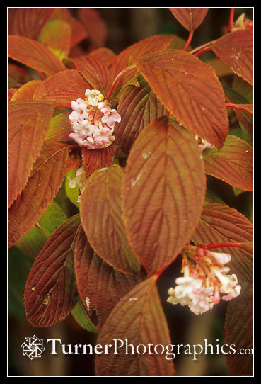 Dawn Viburnum in late October