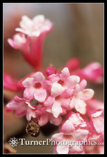 Dawn Viburnum blossoms