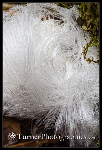 1300040 Frost flowers (hair ice). Lake Padden Park, Bellingham, WA. © Mark Turner