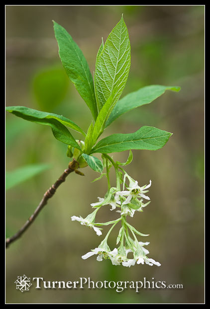 Photo: Indian Plum blossoms