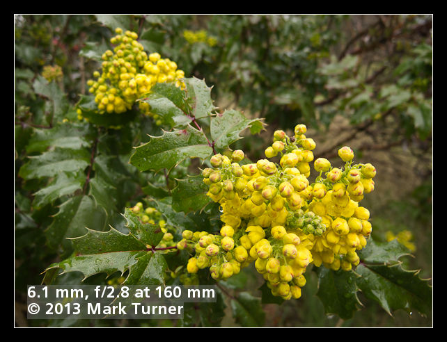 Oregon-grape blossoms, wide aperture, telephoto lens, close-up