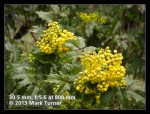 Tall Oregon-grape blossoms & foliage