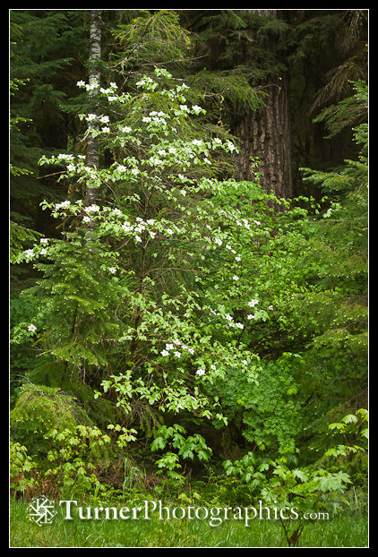 Pacific Dogwood against Douglas-fir trunk