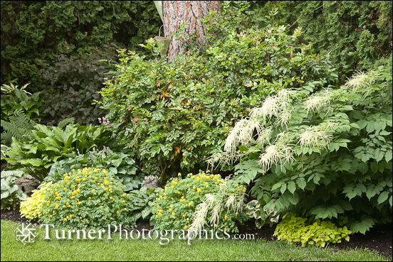 Shade border with goatsbeard