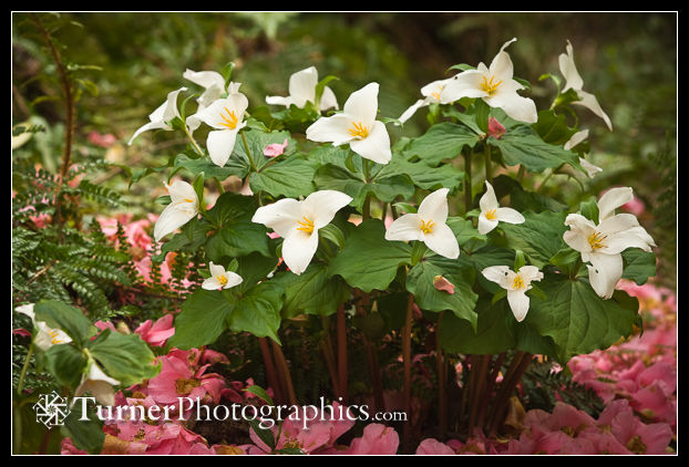 Western Trilliums among fallen pink Camellia blossoms