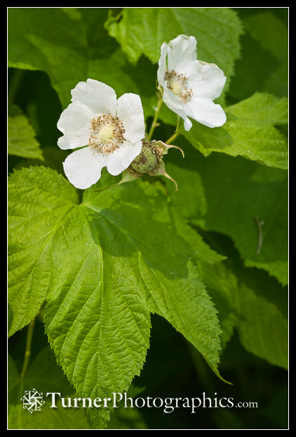 Thimbleberry blossoms & foliage
