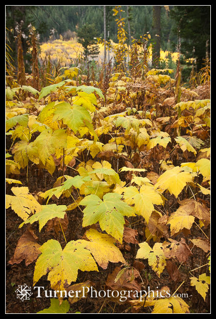 Thimbleberry autumn color