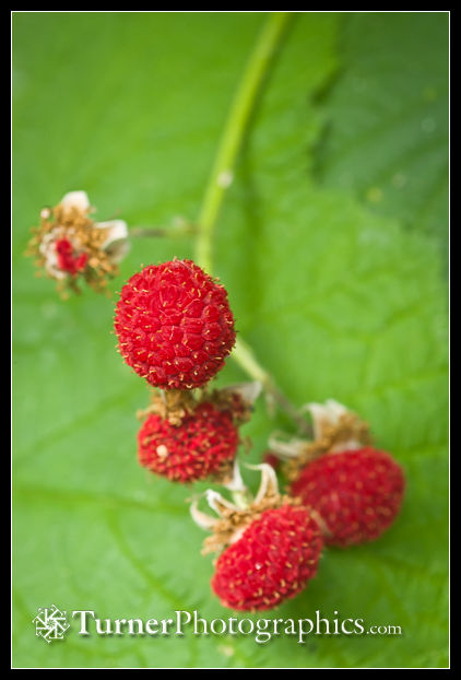 Thimbleberry fruit