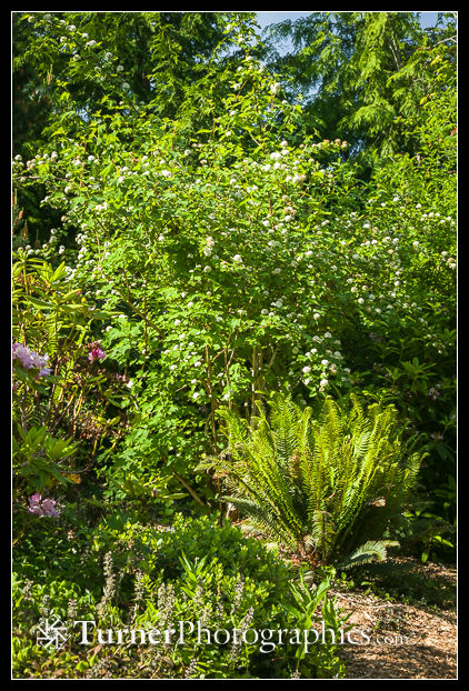 Pacific Ninebark & Sword Fern