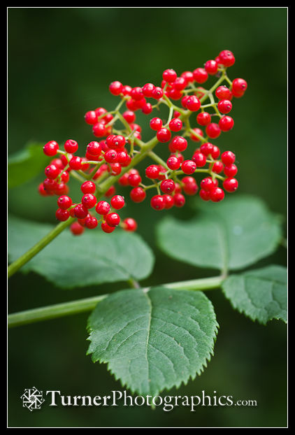 Red Elderberry fruit